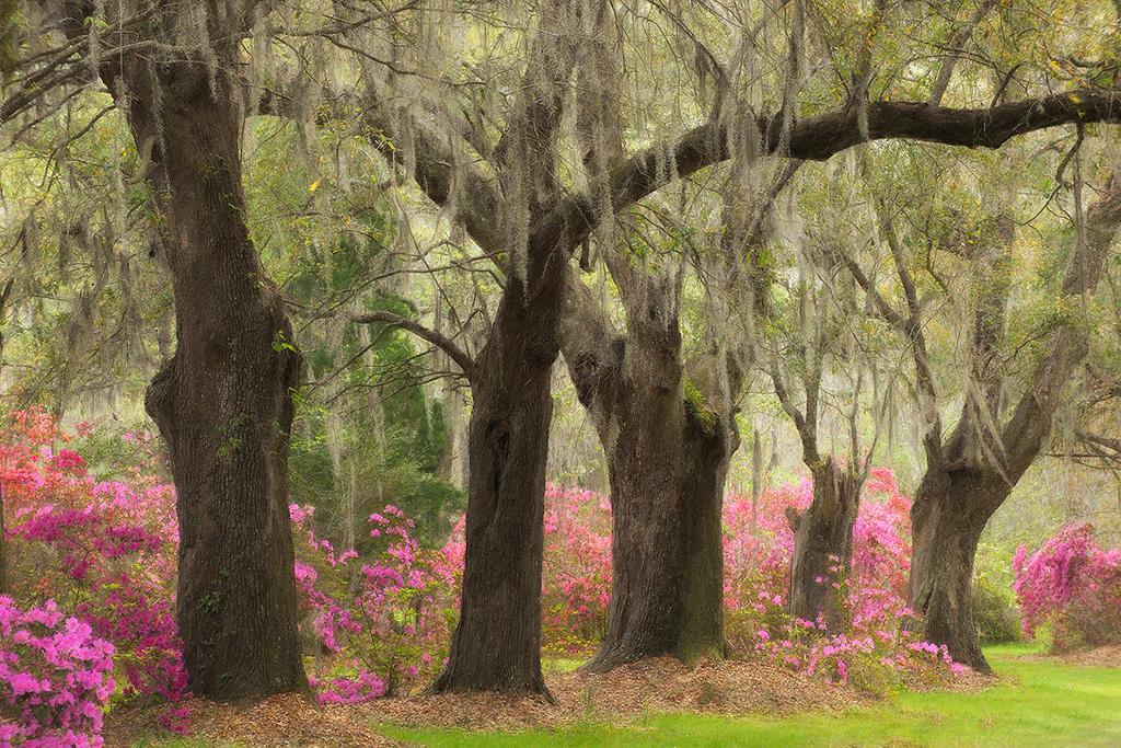 Oaks & Azaleas at Magnolia Gardens.
