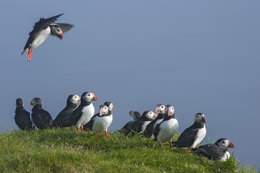 MORE PUFFINS!!
