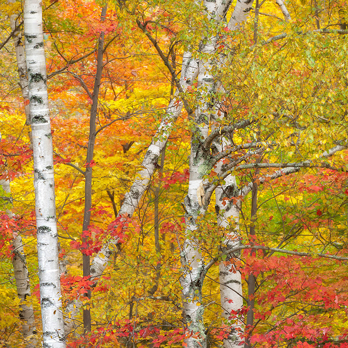 New Hampshire Birch